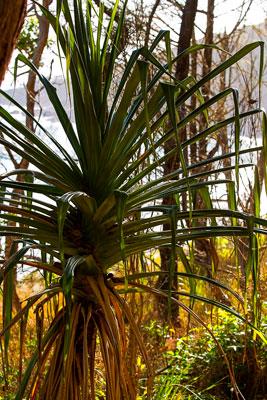 Thumbnail image ofPandanus Pine above Tea Tree Bay.