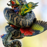 Carpet Python snake, Morelia spilota, with its captured Rainbow Lorikeet, trichoglossus heamatodus.