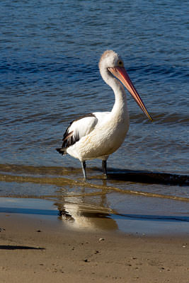 Thumbnail image ofReflected body; pelican on the Noosa River shore.