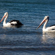 Pelicans trolling for supper together on the Noosa River shore.