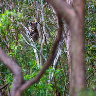 Koala sits, arms crossed, in a small fork of a gum tree.