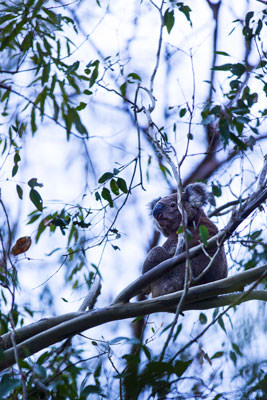 Thumbnail image ofEars pricked up, alert and watchful; a koala sits...