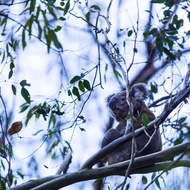 Ears pricked up, alert and watchful; a koala sits in a gum tree.