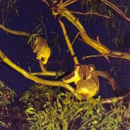 mother koala and her baby joey in a gum tree at night, by available light.