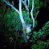 Koala in a gum tree twigs, by torch light.