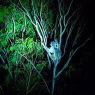 Koala having a good scratch, by torch light.
