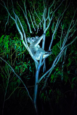 Thumbnail image ofMother koala laying back, relaxing, at night by...