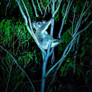 Mother koala laying back, relaxing, at night by torch light.