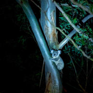 Baby joey koala at night descending a gum tree, by torch light.