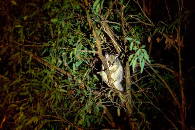 Thumbnail image ofPossum, out for supper.