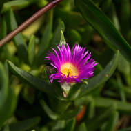 Purple flower of the Pig Face plant, carpobrotus glaucescens.
