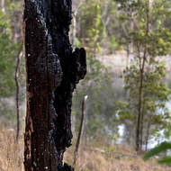 Burnt out: charred remnant of a tree possibly struck by lightning.