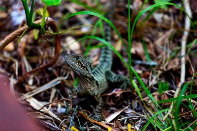 Thumbnail image ofWater lizard can smell something good, tries the...