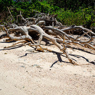 Uprooted tree on the coral beach, not very deep roots.