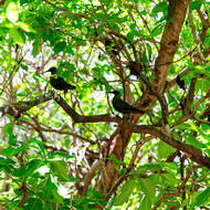 Noddy Terns roosting in the island's Pisonia trees.