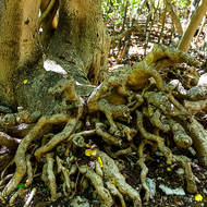 A Pisonia tree, shallow rooted, has fallen over and then continued growing strongly upwards.