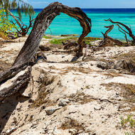Fallen tree, twisted by the weather and wind, the grasses holding on to the coral sand.