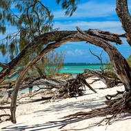 Bent and uprooted trees on the coral shore.