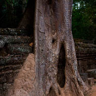 A large tree consumes part of the surrounding wall of Ta Prohm.