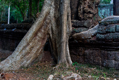 Thumbnail image ofLarge tree and well engaged root in a laterite...
