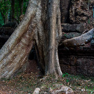 Large tree and well engaged root in a laterite outer wall of Ta Prohm.