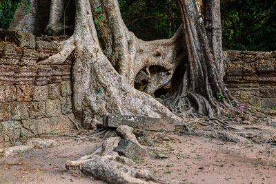 Thumbnail image ofTrees engulfing the outer laterite wall at Ta...
