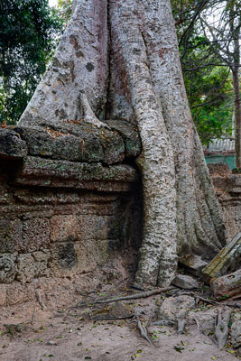 Thumbnail image ofTree buttresses engulfing a section of the outer...