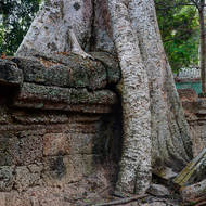 Tree buttresses engulfing a section of the outer laterite wall of Ta Prohm, a small 'hand' down for support.