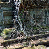 Tree on the roof of a gallery of Beng Mealea temple.