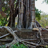 Tree growing on top of the Beng Mealea temple.