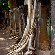 Trees have taken over the eastern entrance processional walkway into the inner sanctuary of the Prasat Thom temple.