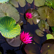 Water lily flowers and pads in a pond.