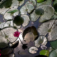 Sun reflected on pond water behind water lily flowers and pads.