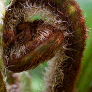 What is it?  The emergent head of a fern.