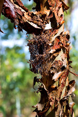 Thumbnail image ofCurly bark of a eucalyptus tree and a spider web.