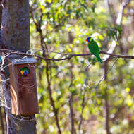 Pairing up, lorikeets, trichoglossus heamatodus, occupy a nesting box in the forest.