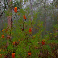 Brightness of the bottlebrush, banksia, stands out in the mist.