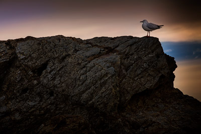 Thumbnail image ofSeagull against the morning light on the rocks...
