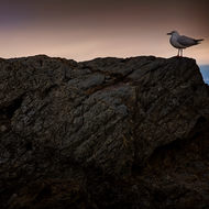 Seagull against the morning light on the rocks at the mouth of Currumbin Creek.