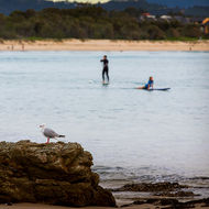 Seagull turns its head on surfer and paddle boarder.