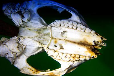 Thumbnail image ofTeeth and skull, possibly a sugar glider, petaurus...