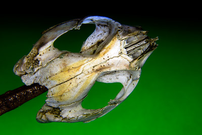 Thumbnail image ofLooking down on the top of a skull, possibly a...