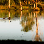 Ducks enjoying the early morning calm on the billabong.