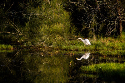 Thumbnail image ofWaterbird on the prowl for breakfast at the billabong.