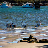 Abundant pelicans on the low tide.