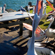 Feeding frenzy as pelicans hang out for off cuts from anglers' cutting bench.