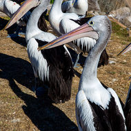 Pelican drools as it hangs out for off cuts from anglers' cutting bench.