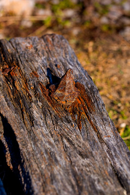 Thumbnail image ofRusted bolt or fitting on wooden post.