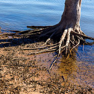 Mangrove tree growing quite well in the saline estuarine waters of the Clarence River.