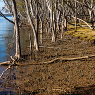 Mangrove trees line the Clarence River, looking down river.